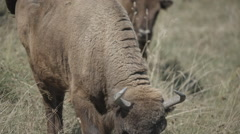Bison Wisent Eating Grass Stock Footage