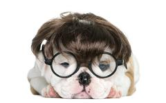 English bulldog puppy wearing a wig and glasses in front of white background Stock Photos