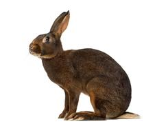 Belgian Hare in front of a white background - stock photo