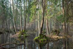 Springtime wet mixed forest with standing water and dead trees partly decline Stock Photos