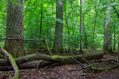 Primeval deciduous stand of natural forest in summertime with huge broken oak - stock photo
