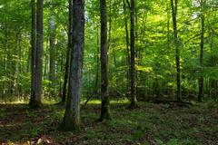 Deciduous stand of Bialowieza Forest in morning light of summer with old oak - stock photo