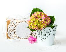 hydrangea in a pot with a gift box - stock photo