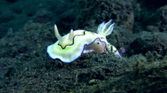 Nudibranch (Chromodoris coi) lifting its skirt Stock Footage