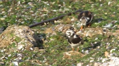 Ruddy turnstone looking for food on shore Stock Footage