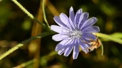 Common chicory, Cichorium intybus, flower Stock Footage