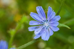 Close up blue chicory flower Stock Photos