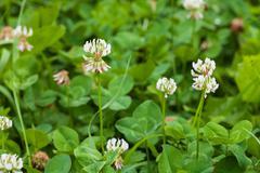 White clover trifolium rapens Stock Photos