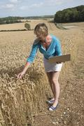 Woman with laptop surveying wheat almost ready for harvesting England UK Stock Photos