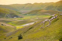 Herd of sheep at Piano Grande, Umbria, Italy - stock photo