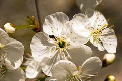 blossoming apple-tree - stock photo