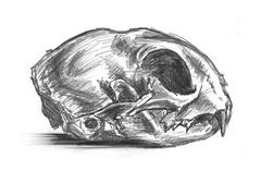Drawing of cat scull - stock illustration