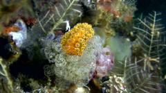Nudibranch (Janolus savintini) Stock Footage