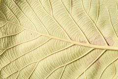 Close up natural teak leaf background texture . Stock Photos