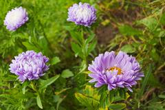 Pink asters bloom in October - stock photo