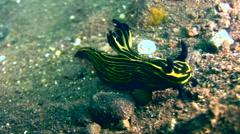 Nudibranch (Roboastra luteolineata) Stock Footage