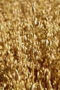 Oat field. Spikes oat closeup on a gold background Stock Photos