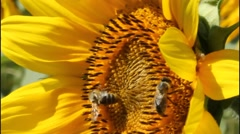 Bees and sunflowers 8786 K OS - stock footage