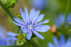 Close up blue chicory flower (cichorium intybus), shallow focus - stock photo