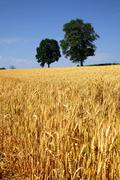 Field of grain with trees and blue sky - stock photo