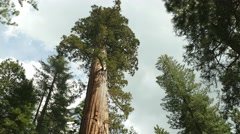 Giant Sequoia Tree, Sequoia National Park, California, Tilt Stock Footage