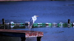 Snowy Egret, River. Brazil, Countryside Stock Footage