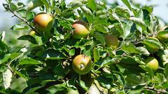 apple tree in altes land in germany Stock Photos