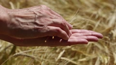 Woman holding ears of corn and wheat grains on the background of a wheat field. Stock Footage