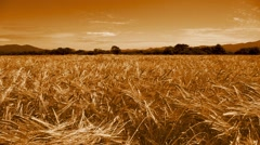 Ears of bread wheat in a field. Tinted. - stock footage