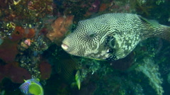 Map pufferfish (Arothron mappa) Stock Footage