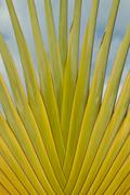 Detail of Traveller's Palm - stock photo
