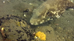 Map pufferfish (Arothron mappa) eating Stock Footage