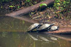 Amazonian River Turtles on the log - stock photo