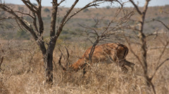 An Impala buck walking and eating Stock Footage