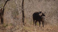 A Buffalo standing and looking around with bird landing on its head Stock Footage
