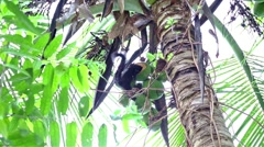 black squirrel eating coconut - stock footage