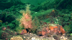 Lacy scorpionfish (Rhinopias aphanes) Stock Footage