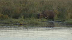 A Buffalo standing at the water and eating grass Stock Footage