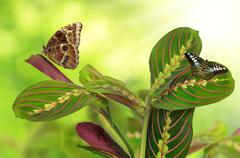Maranta tricolor with butterflies - stock photo