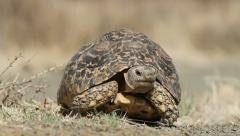 Close-up of a leopard tortoise (Stigmochelys pardalis) walking, South Africa Stock Footage