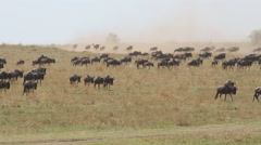 Migratory blue wildebeest running in dust, Masai Mara National Reserve, Kenya Stock Footage