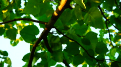 Princess Tree, Emperor Tree (Paulownia Tomentosa) , Rotating - stock footage