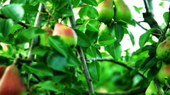 Organic Pears On A Tree, Tilt Stock Footage