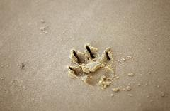 dog paw print in the sand - stock photo