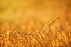 Wheat Crops in Agricultural Field Stock Photos