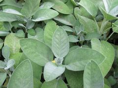 Garden sage, Salvia officinalis - stock photo