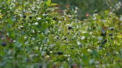 Stock Video Footage of abundance of ripe blueberries on wild growing blueberry shrub (Vaccinium)