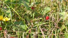 Luscious ripe woodland strawberries on brush Stock Footage