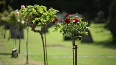 English Cemetery Flowers  (red rose) Stock Footage