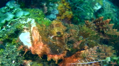 Scorpionfish (Scorpaenopsis sp.) opening mouth Stock Footage